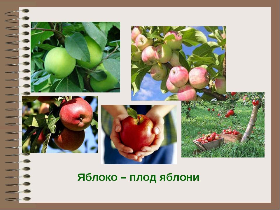 Яблоко – плод яблони