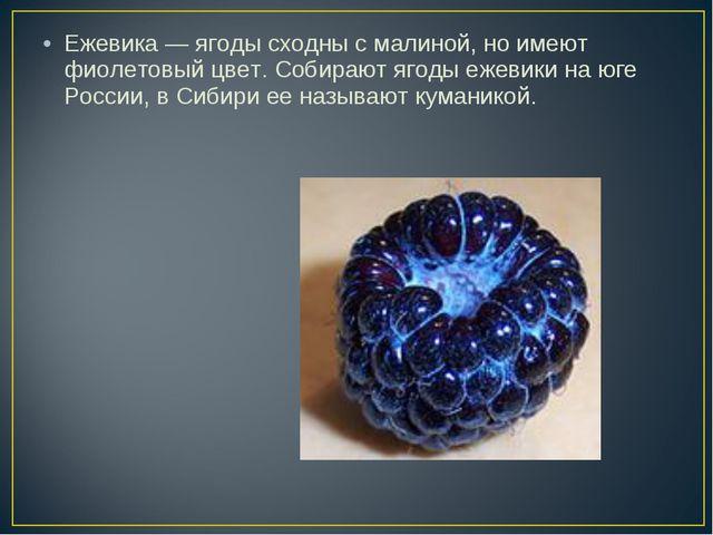 Ежевика — ягоды сходны с малиной, но имеют фиолетовый цвет. Собирают ягоды еж...