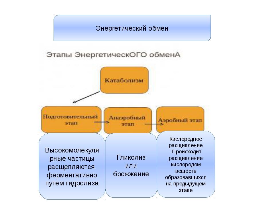 Энергетический обмен Высокомолекулярные частицы расщепляются ферментативно пу...