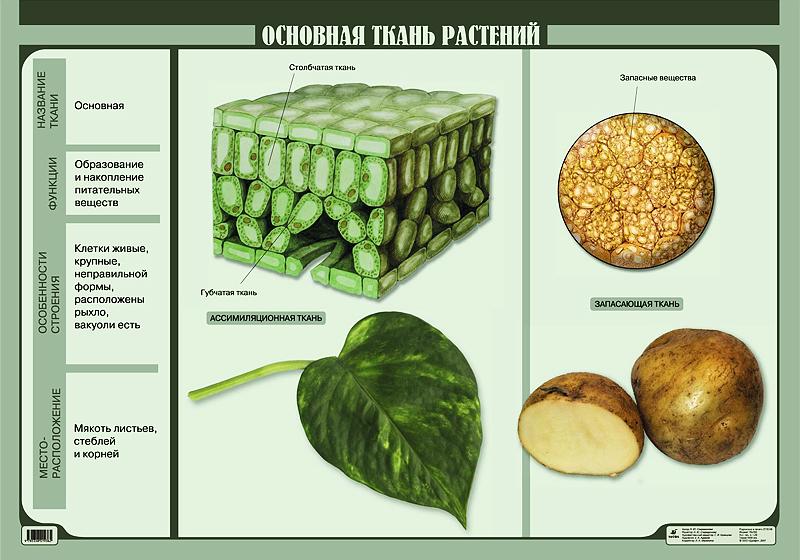 http://www.drofa.ru/files/presentations/visual/Contents/Biologiya/03_Botan/Pictures/28044.111OsnovnaiaTkan.jpg