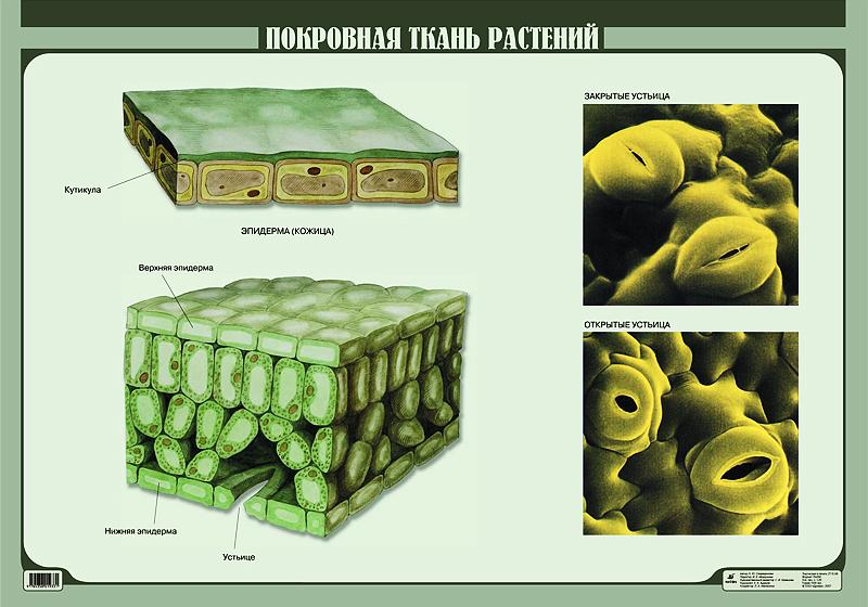 http://www.drofa.ru/files/presentations/visual/Contents/Biologiya/03_Botan/Pictures/28041.111PokrovnaiaTkan.jpg