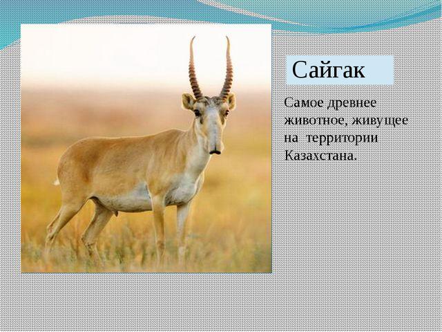 Самое древнее животное, живущее на территории Казахстана. Сайгак