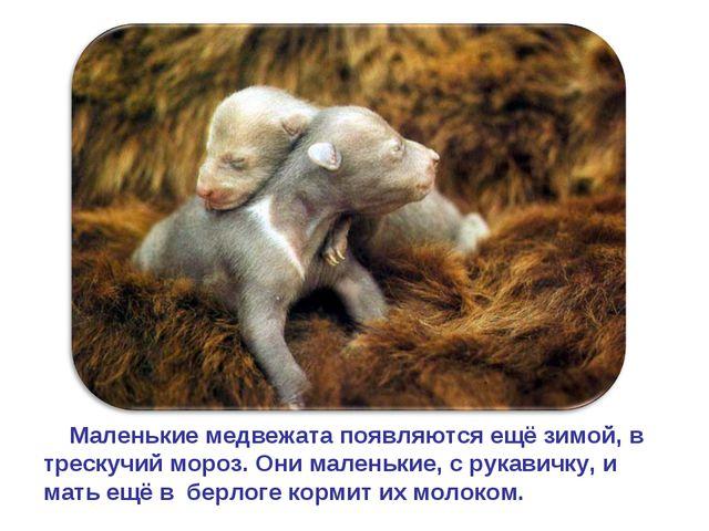 Маленькие медвежата появляются ещё зимой, в трескучий мороз. Они маленькие,...