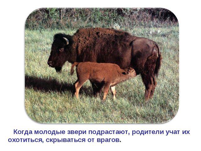 Когда молодые звери подрастают, родители учат их охотиться, скрываться от вр...