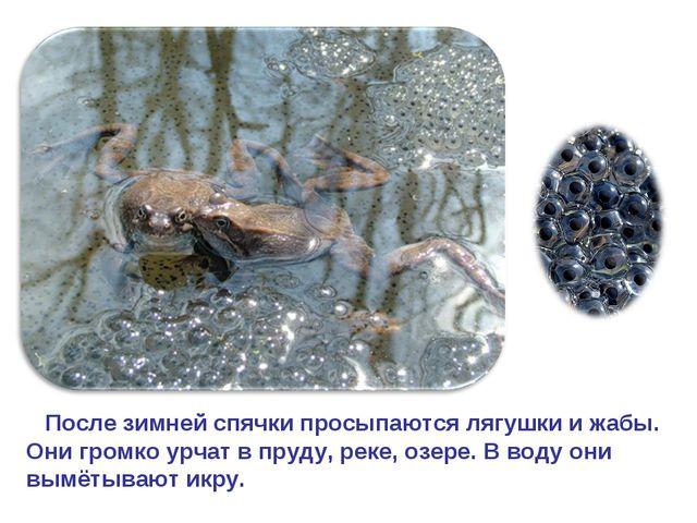 После зимней спячки просыпаются лягушки и жабы. Они громко урчат в пруду, ре...