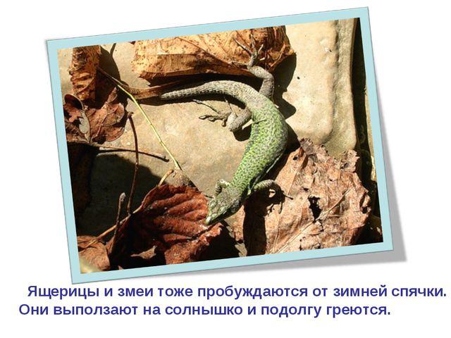 Ящерицы и змеи тоже пробуждаются от зимней спячки. Они выползают на солнышко...