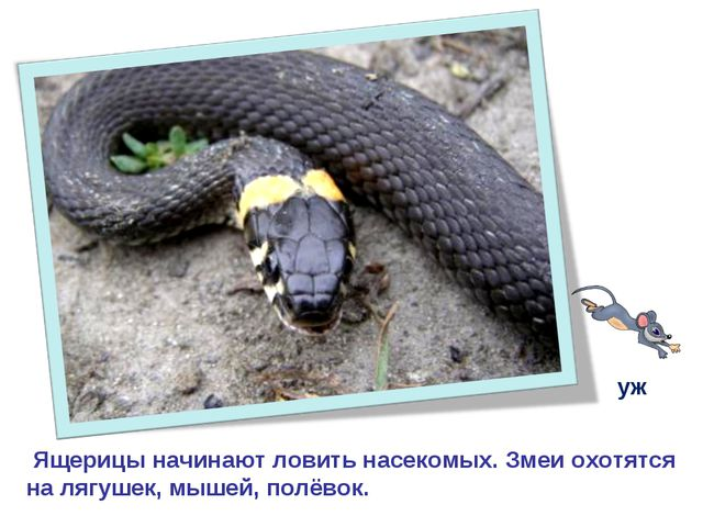 Ящерицы начинают ловить насекомых. Змеи охотятся на лягушек, мышей, полёвок....