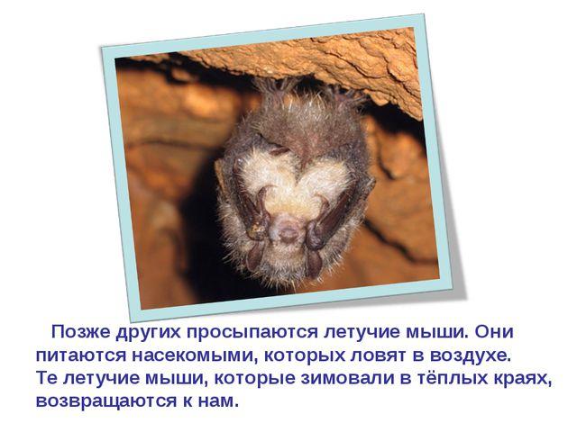 Позже других просыпаются летучие мыши. Они питаются насекомыми, которых ловя...