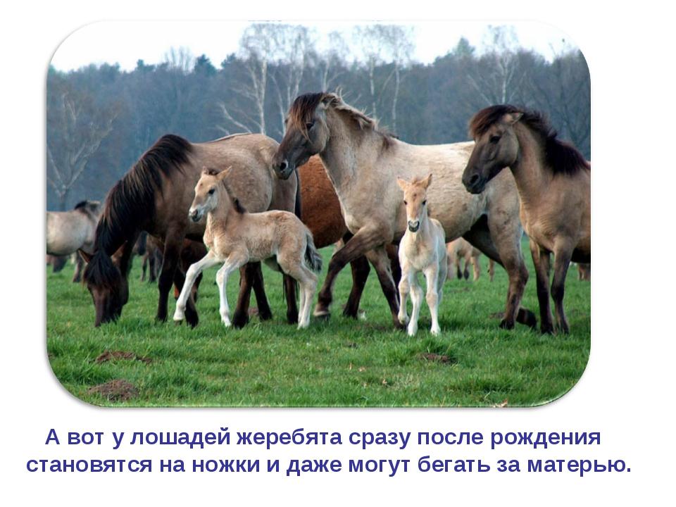 А вот у лошадей жеребята сразу после рождения становятся на ножки и даже мог...