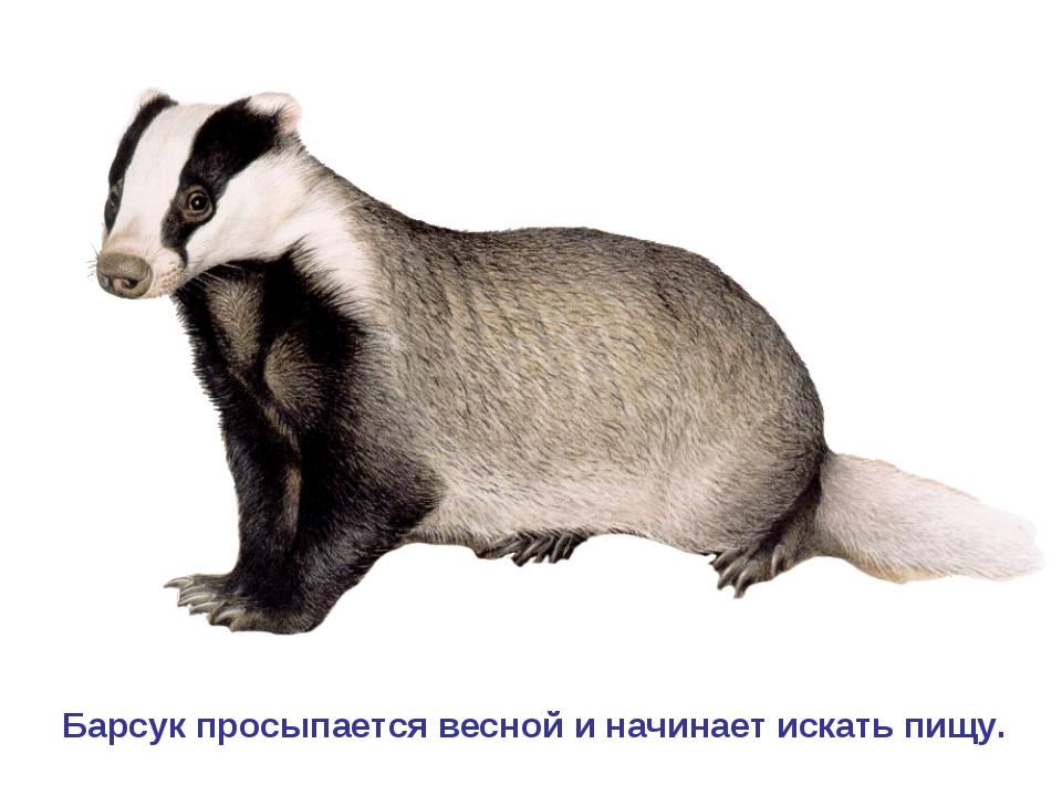 Барсук просыпается весной и начинает искать пищу.