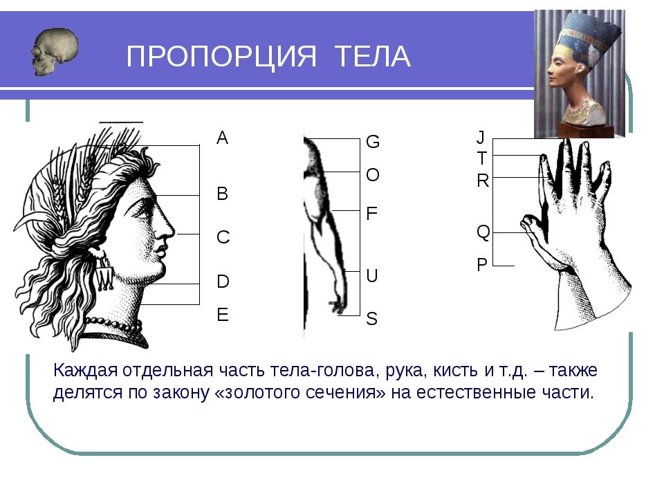 D F J Каждая отдельная часть тела-голова, рука, кисть и т.д. – также делятся...