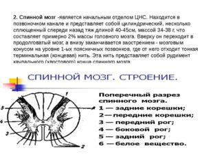 2. Спинной мозг -является начальным отделом ЦНС. Находится в позвоночном кана