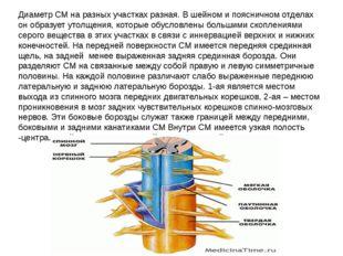 Диаметр СМ на разных участках разная. В шейном и поясничном отделах он образу