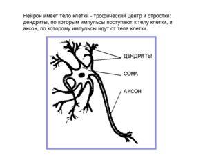 Нейрон имеет тело клетки - трофический центр и отростки: дендриты, по которым
