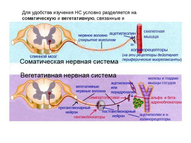 Для удобства изучения НС условно разделяется на соматическую и вегетативную,...