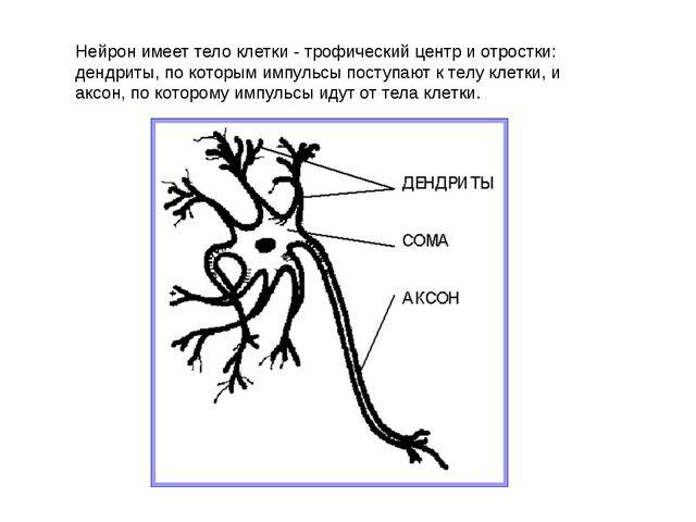 Нейрон имеет тело клетки - трофический центр и отростки: дендриты, по которым...