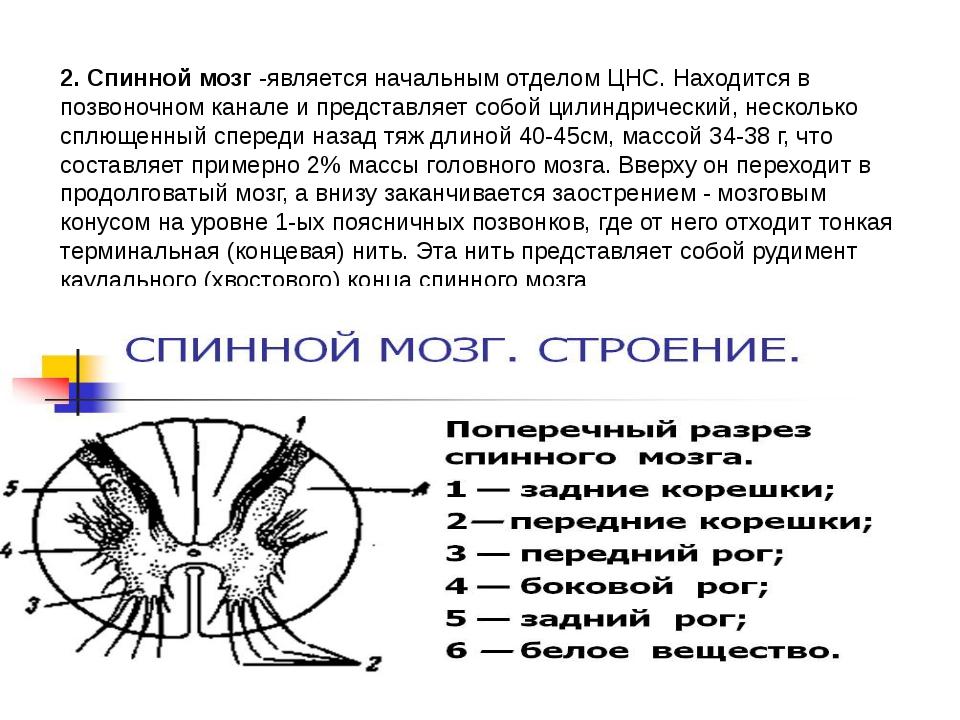 2. Спинной мозг -является начальным отделом ЦНС. Находится в позвоночном кана...