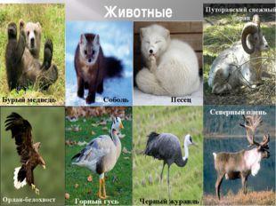 Животные Бурый медведь Соболь Песец Черный журавль Путоранский снежный баран