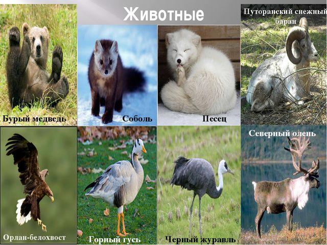 Животные Бурый медведь Соболь Песец Черный журавль Путоранский снежный баран...