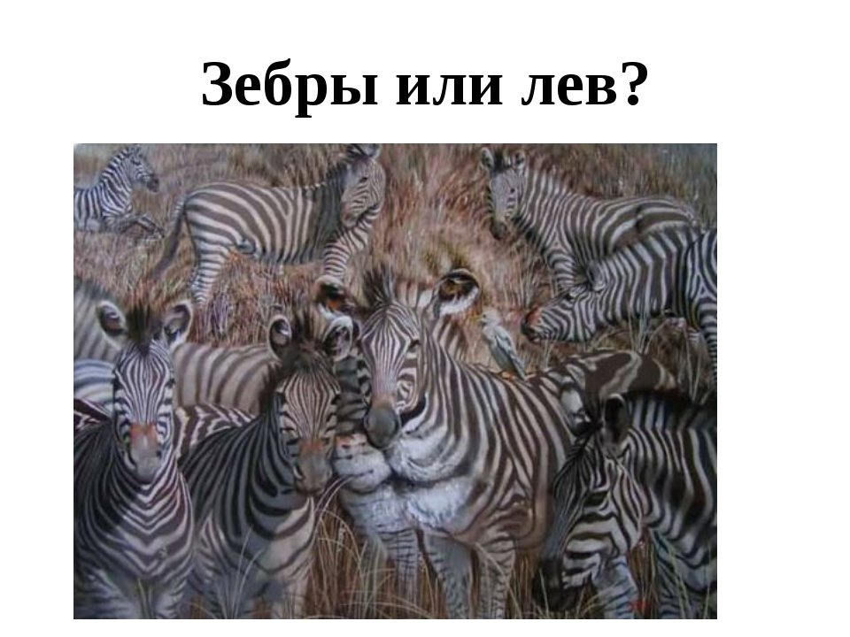 Зебры или лев?