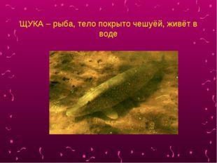 ЩУКА – рыба, тело покрыто чешуёй, живёт в воде