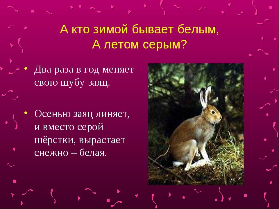 А кто зимой бывает белым, А летом серым? Два раза в год меняет свою шубу заяц...