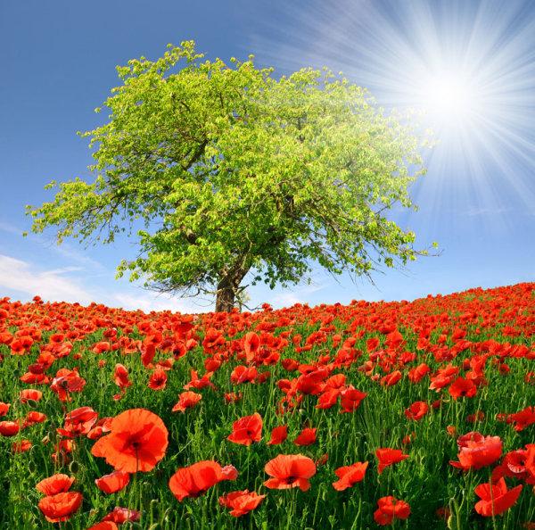 Обои цветы, маки, маковое поле, дерево, поле 2560x1440