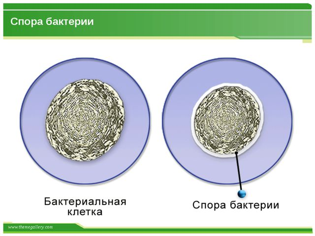 Спора бактерии www.themegallery.com