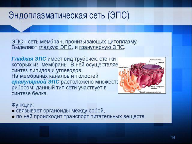 Эндоплазматическая сеть (ЭПС) ЭПС - сеть мембран, пронизывающих цитоплазму....