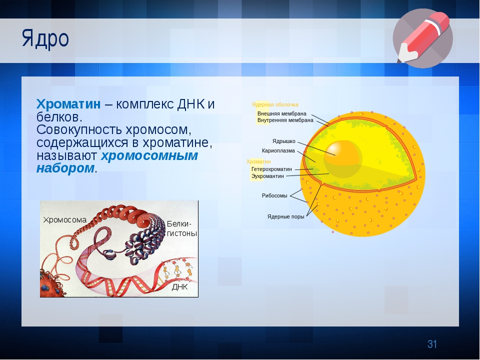 Хроматин – комплекс ДНК и белков. Совокупность хромосом, содержащихся в хром...