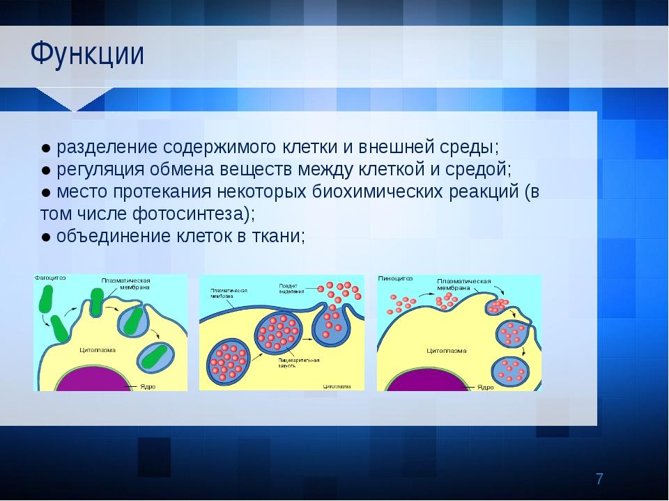 Функции ● разделение содержимого клетки и внешней среды; ● регуляция обмена...