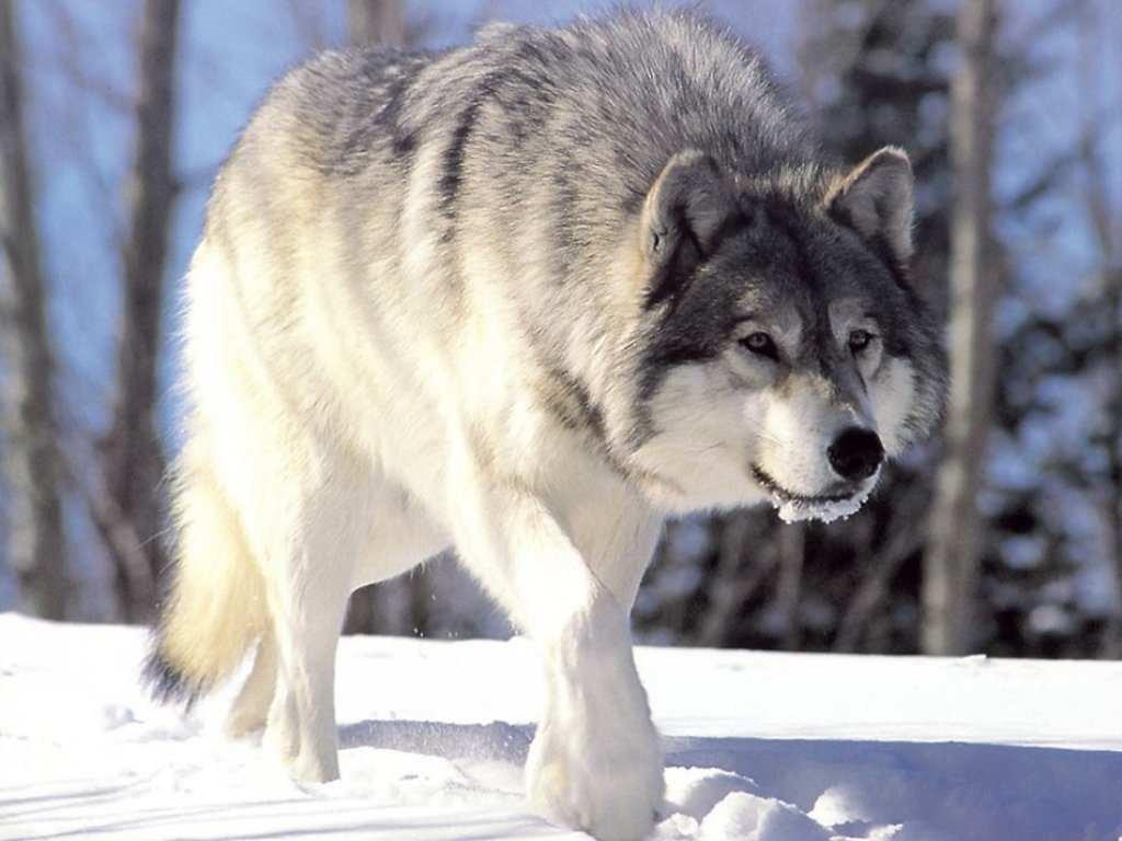 ws_Wolf_1024x768