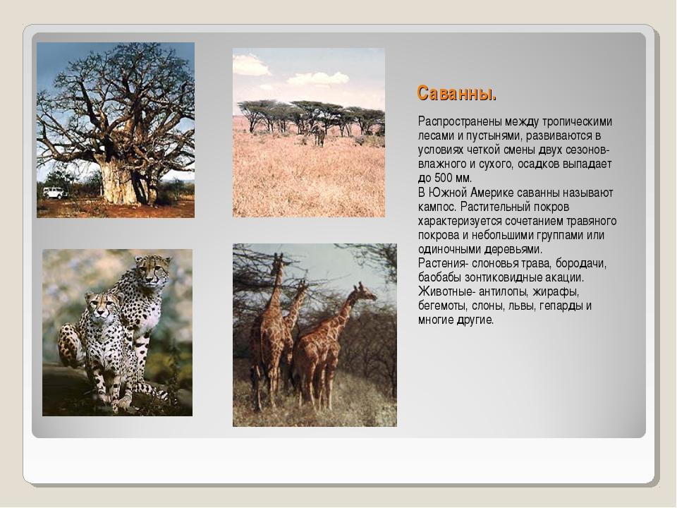 Саванны. Распространены между тропическими лесами и пустынями, развиваются в...