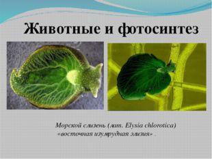 Морской слизень (лат. Elysia chlorotica) «восточная изумрудная элизия» . Живо