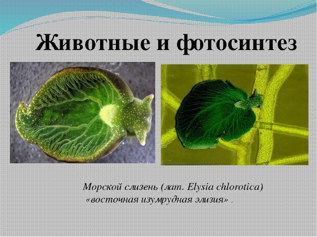 Морской слизень (лат. Elysia chlorotica) «восточная изумрудная элизия» . Живо...