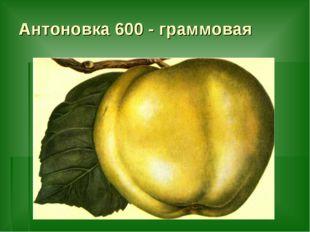 Антоновка 600 - граммовая