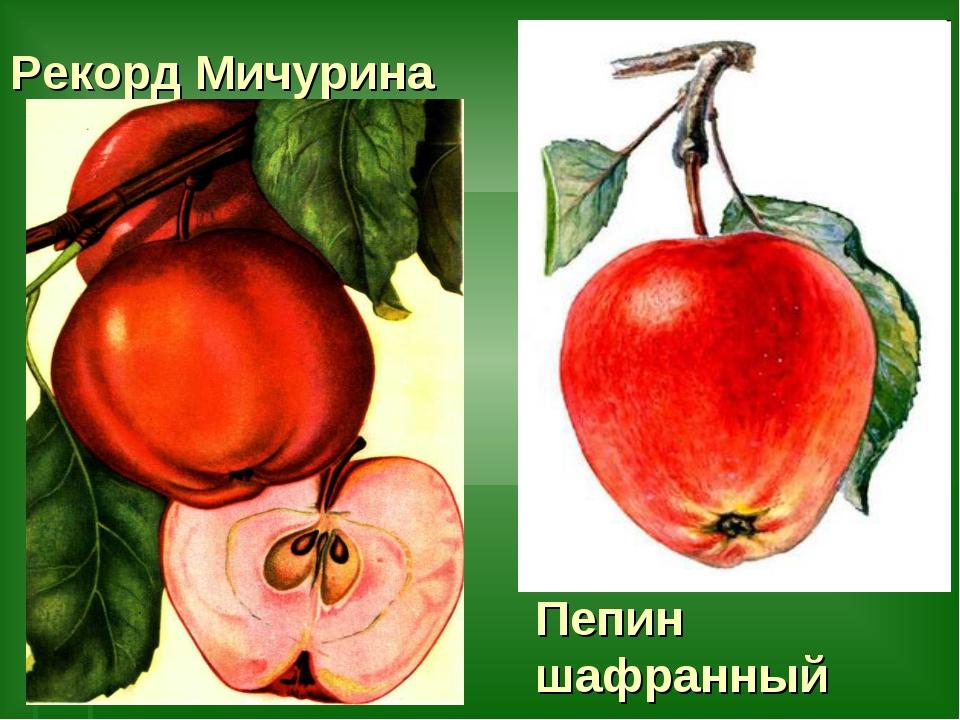 Рекорд Мичурина Пепин шафранный