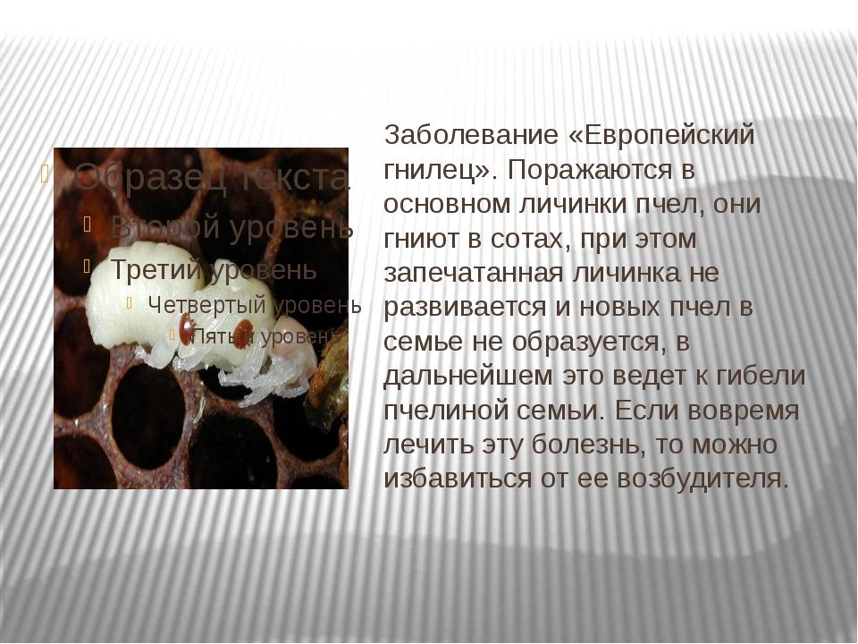 Заболевание «Европейский гнилец». Поражаются в основном личинки пчел, они гни...