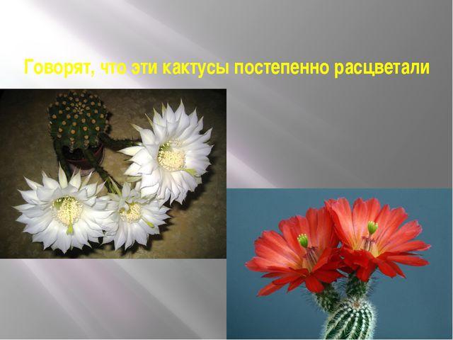 Говорят, что эти кактусы постепенно расцветали