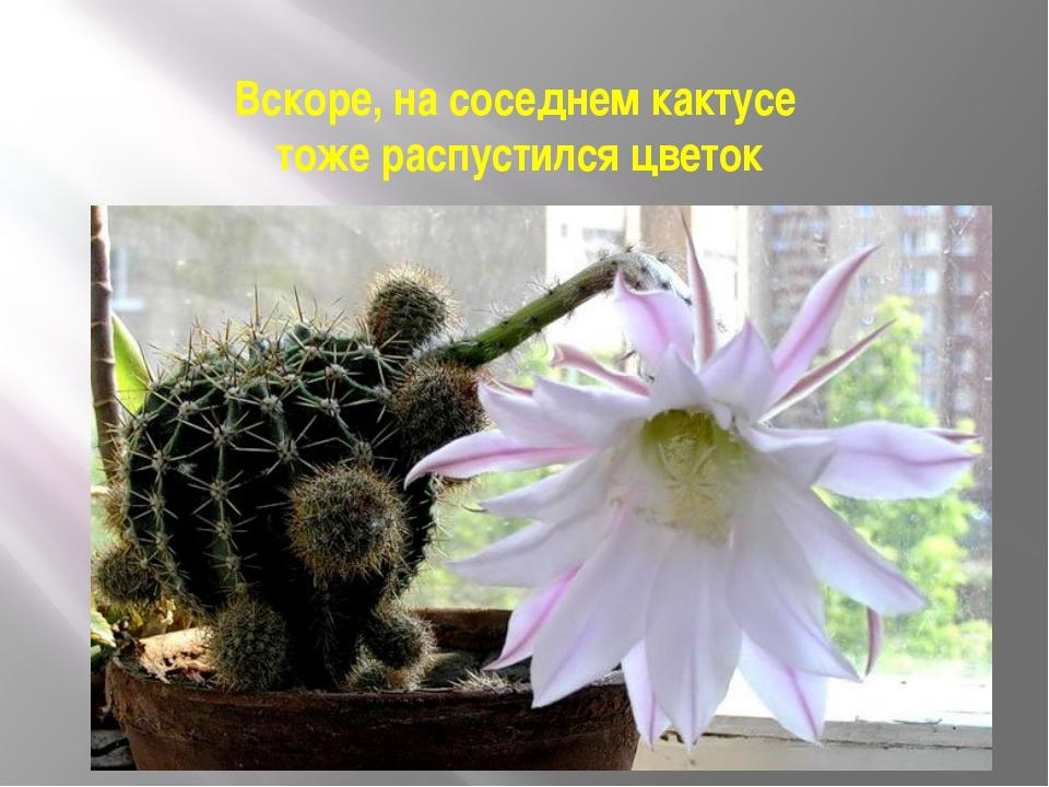 Вскоре, на соседнем кактусе тоже распустился цветок
