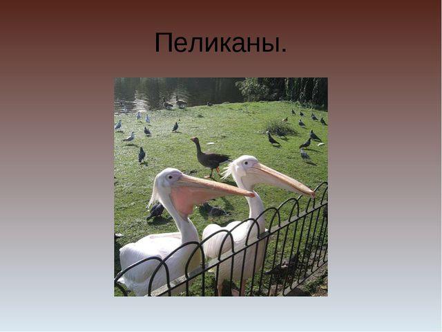 Пеликаны.