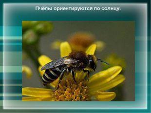 Пчёлы ориентируются по солнцу.