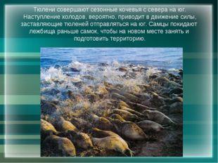 Тюлени совершают сезонные кочевья с севера на юг. Наступление холодов, вероят