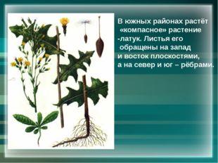 В южных районах растёт «компасное» растение -латук. Листья его обращены на за