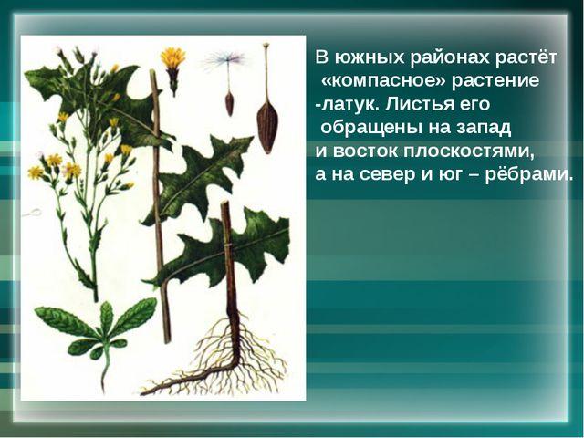 В южных районах растёт «компасное» растение -латук. Листья его обращены на за...