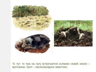 То тут, то там на лугу встречаются холмики сежей земли – кротовины. Крот – на