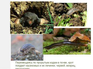 Перемещаясь по прорытым ходам в почве, крот поедает насекомых и их личинки, ч