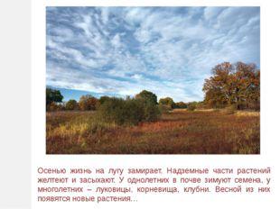 Осенью жизнь на лугу замирает. Надземные части растений желтеют и засыхают. У