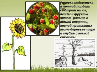 Головка подсолнуха в летний полдень смотрит на юг, ягоды и фрукты зреют рань