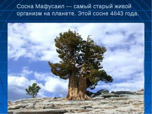 Сосна Мафусаил — самый старый живой организм на планете. Этой сосне 4843 года.